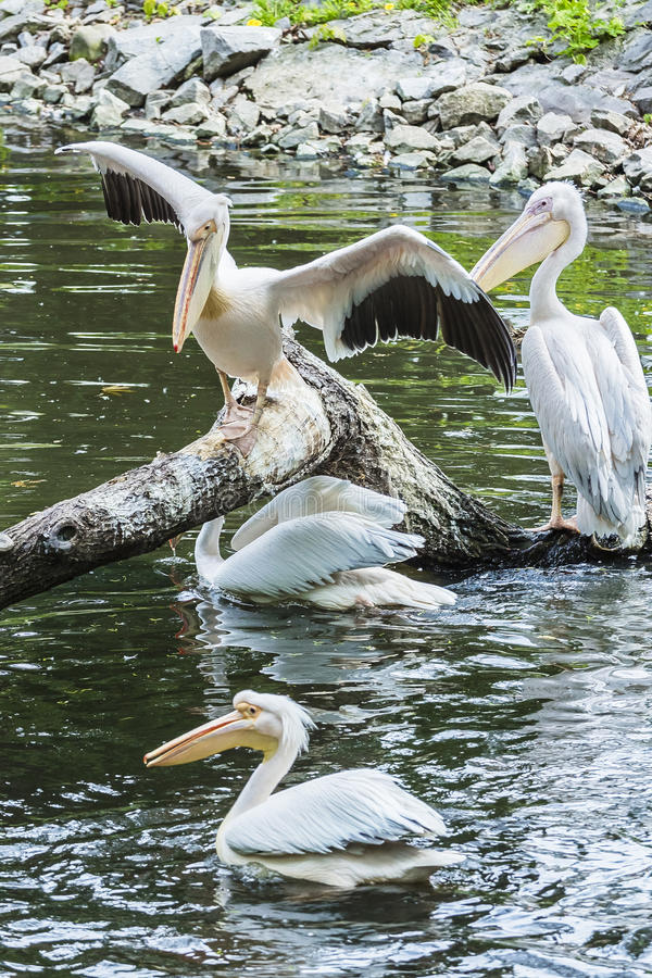 Group of white pelicans on a tree in the water stock images
