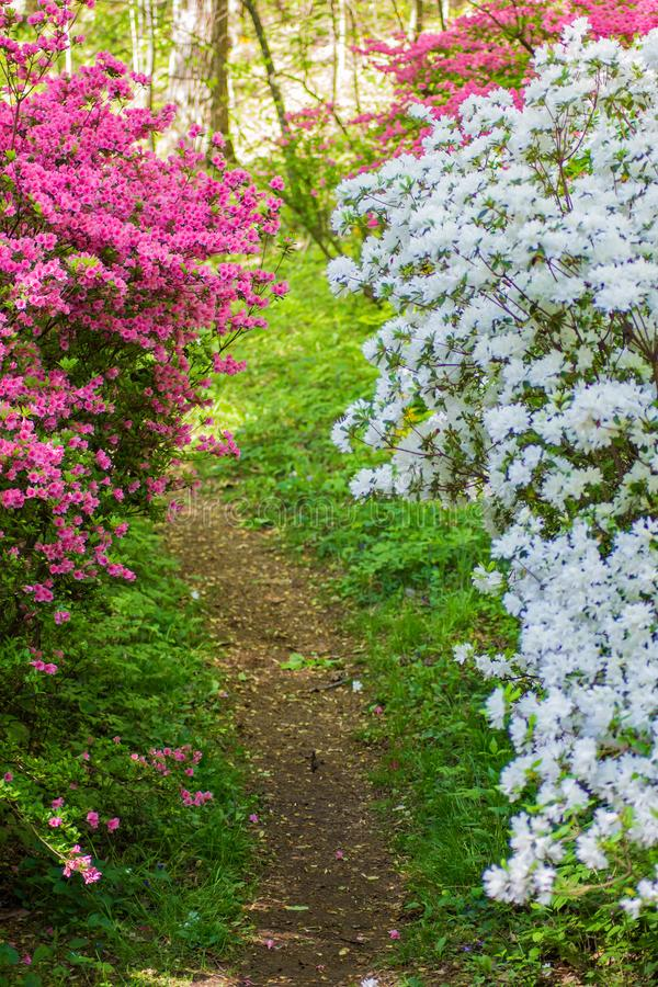 White and Pink Azalea Bushes Along a Hiking Trail. A group of white and pink azalea bushes along a hiking trail in a mountain park located in the Appalachian stock image