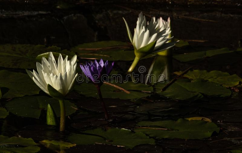 Group of white and purple lotus blossoms rising rising up out of pond of lily pads, calm serene background for meditation wellness. A group of white and purple royalty free stock photos