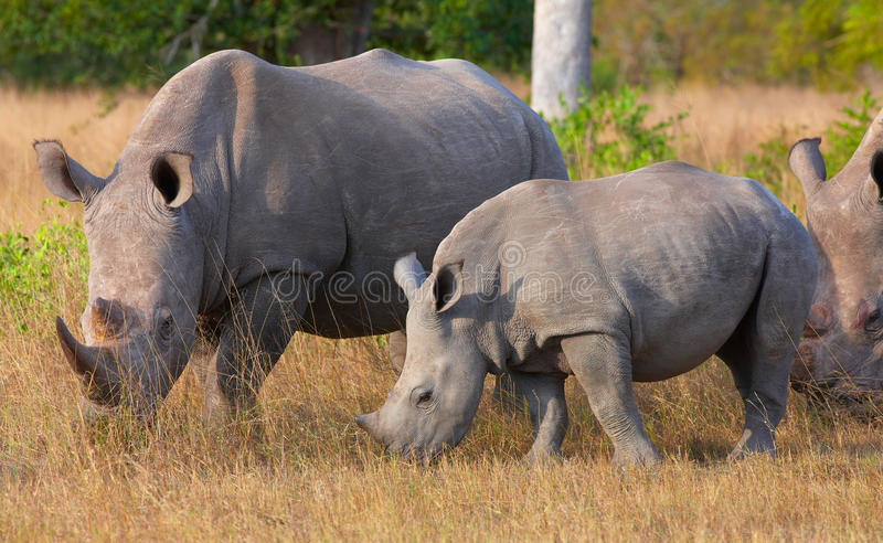 Group of white rhinoceros. Group of white (square-lipped) rhinoceros (Ceratotherium simum) eating in the nature reserve in South Africa stock photo