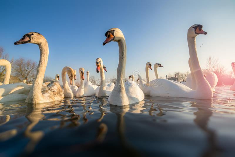 Group of white swans stock photo