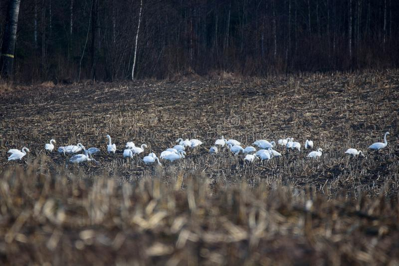 Group with whooper swans Cygnus cygnus on field. royalty free stock photography