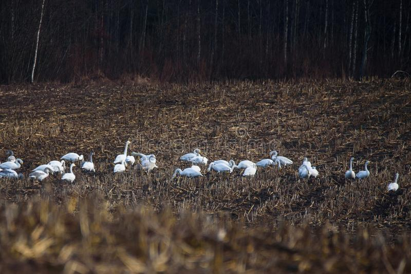 Group with whooper swans Cygnus cygnus on field. royalty free stock images