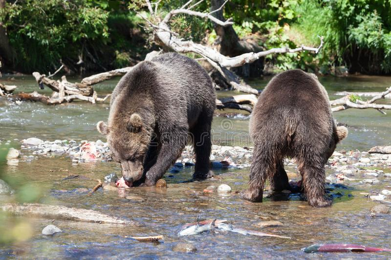Group of wild adult brown bearsursus are fishing in summer on a sunny day. Group of wild adult brown bears are fishing on a sunny day. Bears stands on the lake royalty free stock images