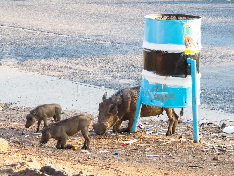 Group of wild adult warthog and babies animal show natural behavior eating street food by bending front leg on local street stock photography