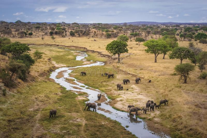 Group of wild African elephants crossing the river stock image