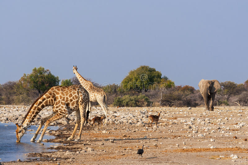 Group of wild animals near a waterhole in the Etosha National Park, in Namibia stock photo