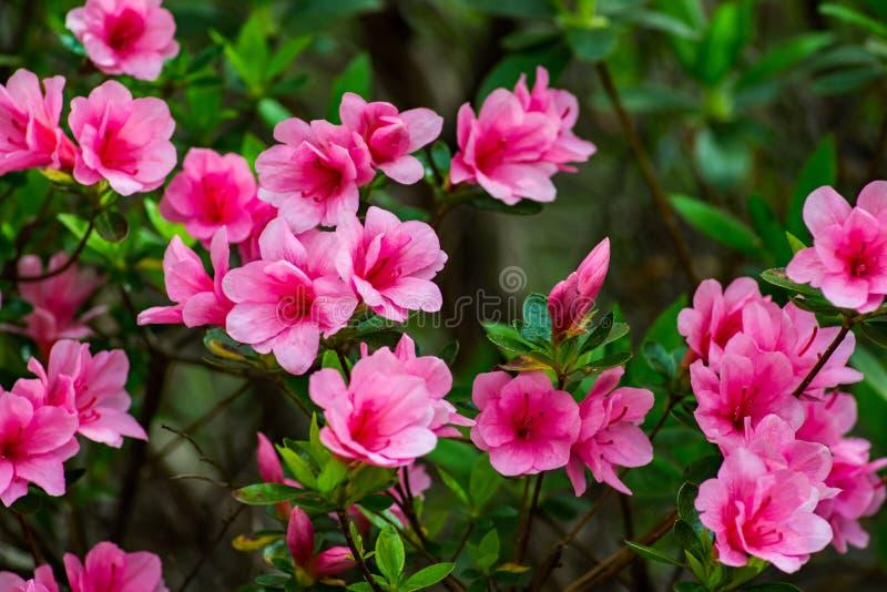 Group of Wild Appalachian Mountain Pink Azalea royalty free stock photos
