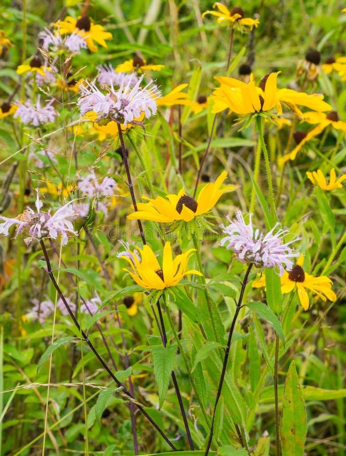 A Group of Wild Bergamot Wildflowers stock photo
