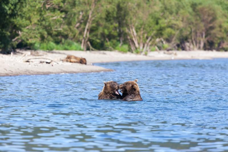 Group of wild brown bears Ursus arctos grizzly in water in the lake. Bears bears roar fighting royalty free stock image