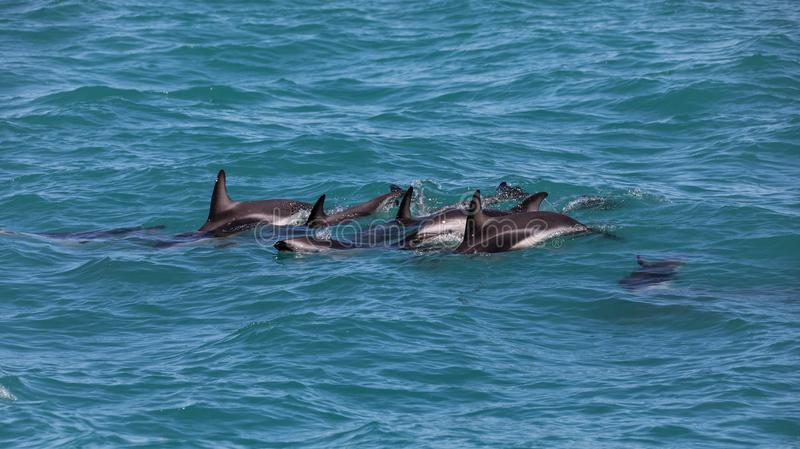 A group of wild dusky dolphins Lagenorhynchus obscurus near Kaikoura, New Zealand. stock image
