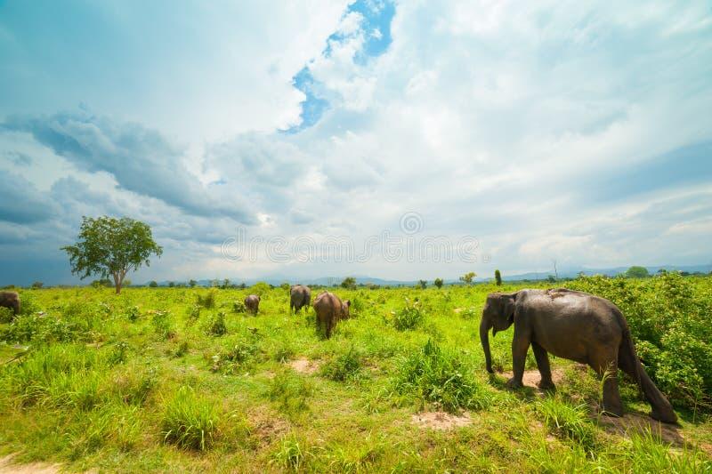 Group of wild elephants stock photography
