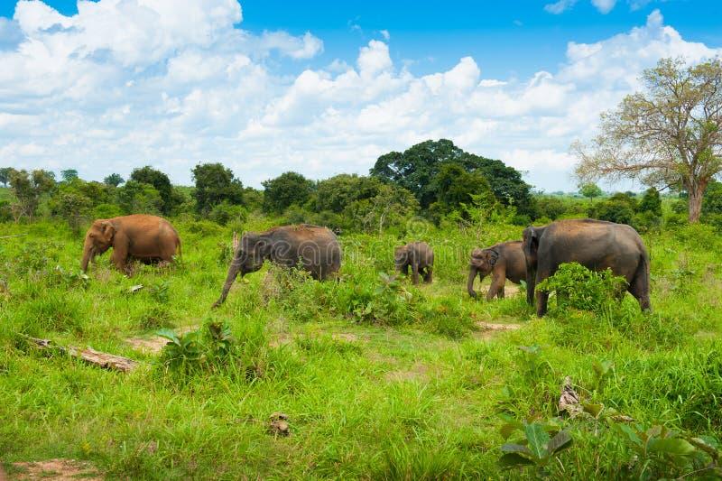 Group of wild elephants stock image
