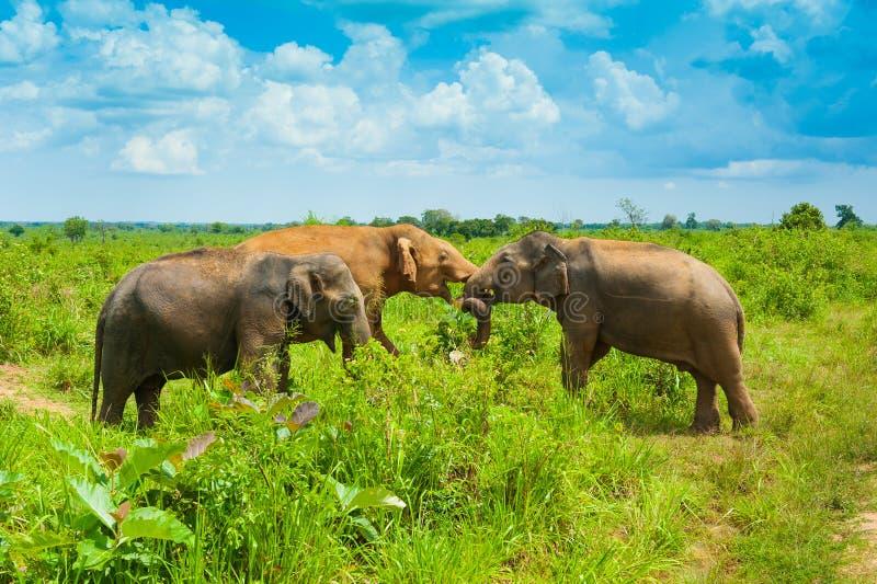 Group of wild elephants stock images