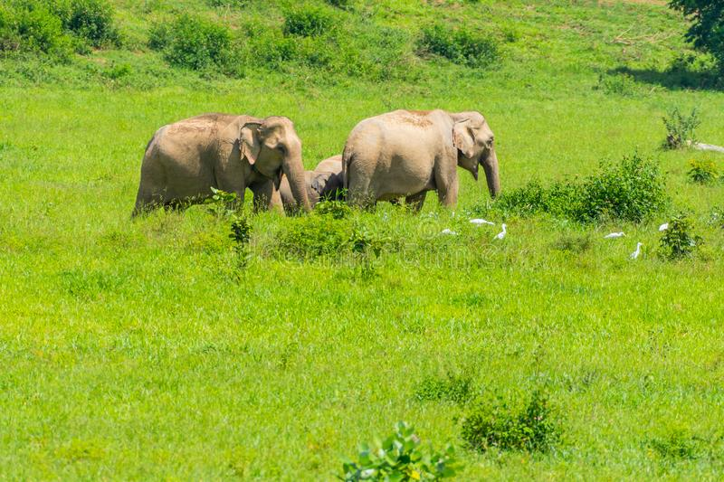 Group of wild elephants eating grass in the meadow stock image