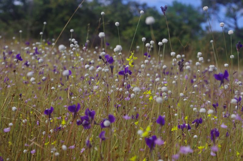 A group of wild flowers bloom full on field. A group of wild flowers bloom full on field of rocky mountain areas in Ubon Ratchathani stock photography