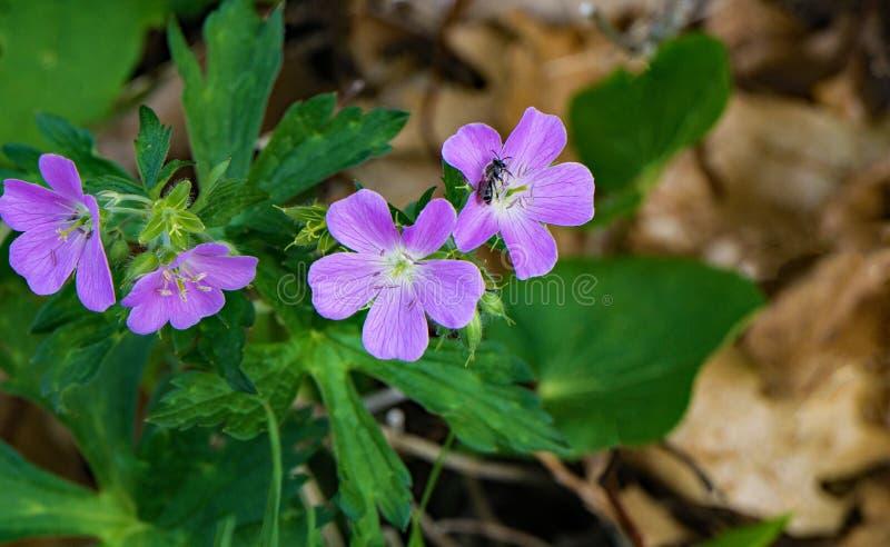 Group of Wild Geraniums - Geranium maculatum royalty free stock photos