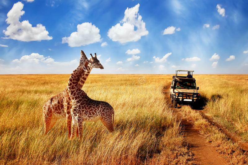 Group of wild giraffes in african savannah against blue sky with clouds near the road. Tanzania. stock image
