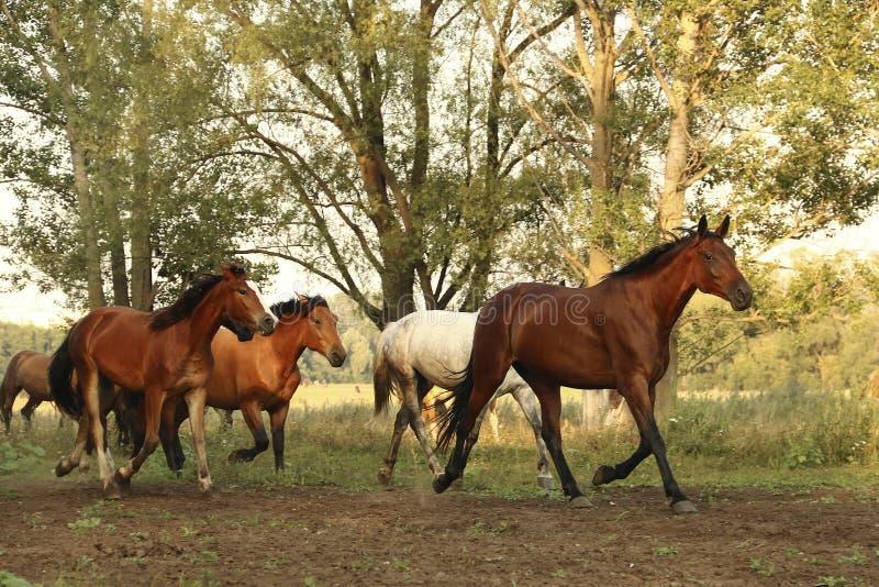 Group of wild horses running across the field stock photos
