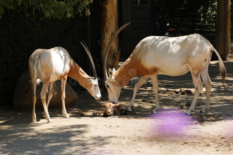A Saber Oryx. A group of wild Saber Oryx royalty free stock image