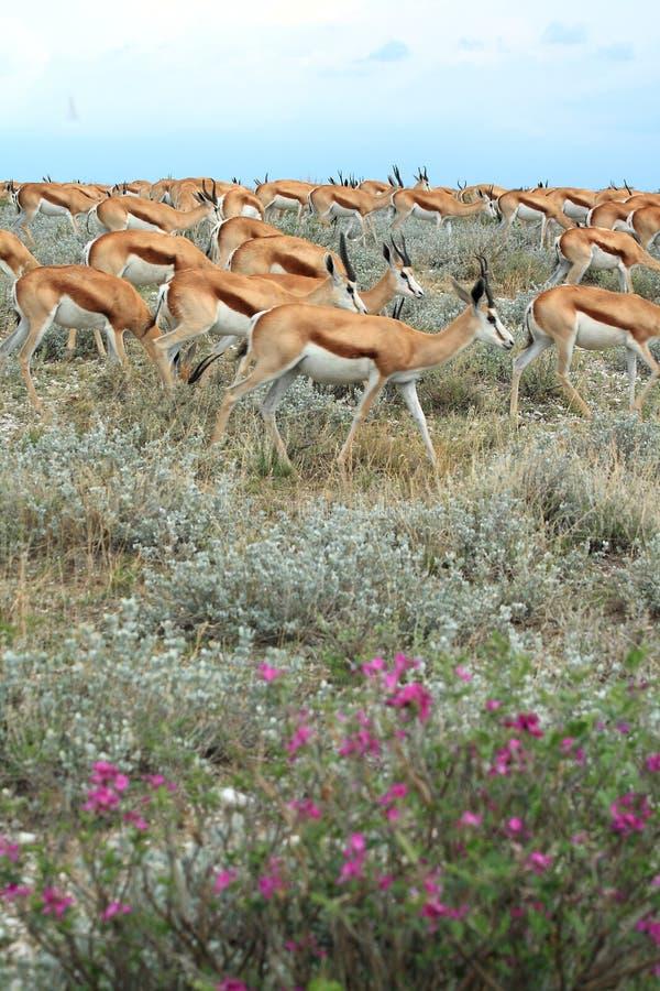 Group of wild springbok gazelles stock photo