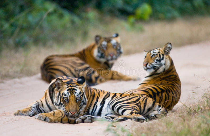 Group of wild tigers on the road. India. Bandhavgarh National Park. Madhya Pradesh. An excellent illustration royalty free stock images
