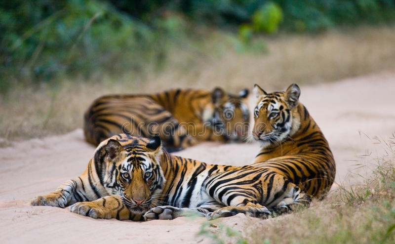 Group of wild tigers on the road. India. Bandhavgarh National Park. Madhya Pradesh. An excellent illustration stock image
