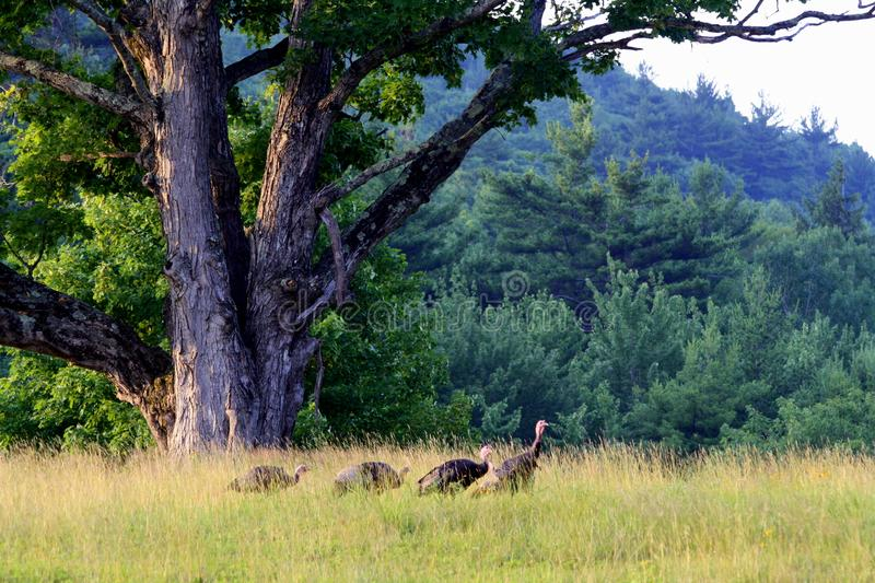 Turkeys at Dusk royalty free stock photo