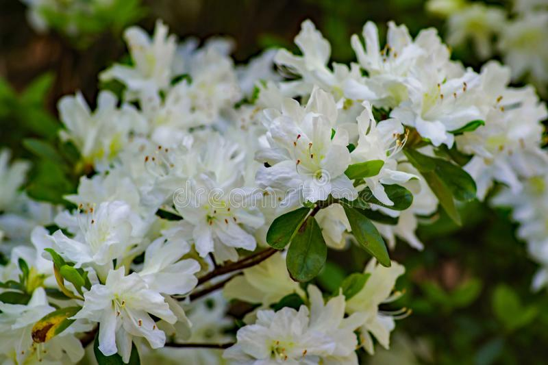 Group of Wild White Azalea Flower in the Appalachian Mountain royalty free stock images