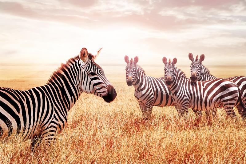 Group of wild zebras in the African savanna against the beautiful sunset. Wildlife of Africa. Tanzania. Serengeti national park. A stock photography