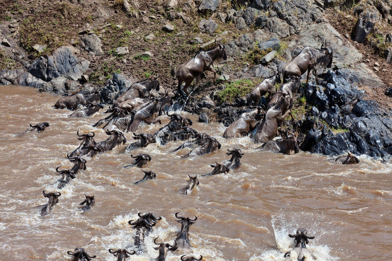 Download Group Of Wildebeest Crossing The River Mara Stock Photo - Image: 15610806