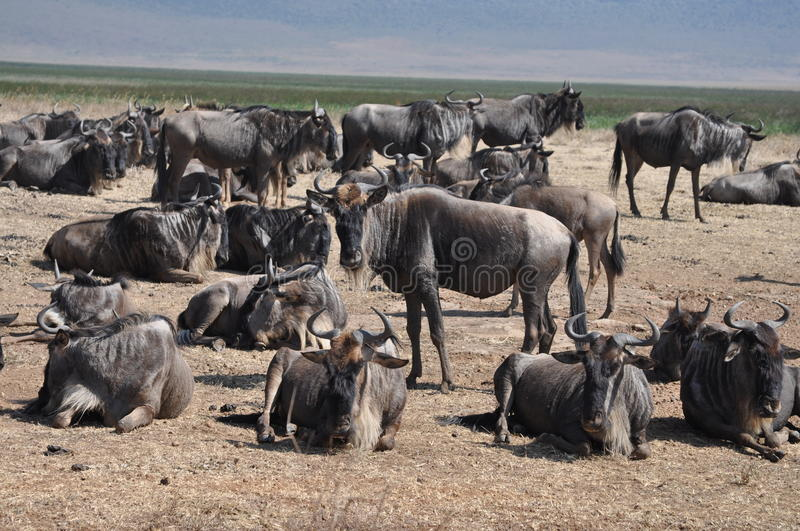 Download Group Of Wildebeest At Ngorongoro Crater Stock Photo - Image: 20173446