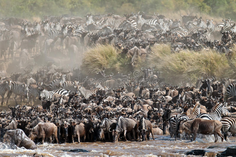 Group of wldebeest drinking water at the river. Group of zebras and wildebeest drinking water before crossing the river Mara, Masai Mara Game Reserve, Kenya stock image