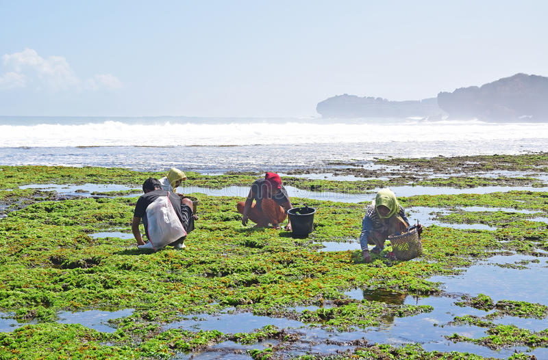 A group of workers squatting collecting seaweed to be made into deep fried snacks for visitors stock images
