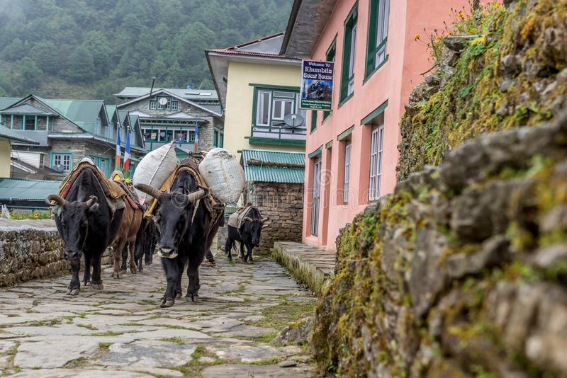 Group of yaks carry stuff in Lukla on Mt.everest base camp royalty free stock photo