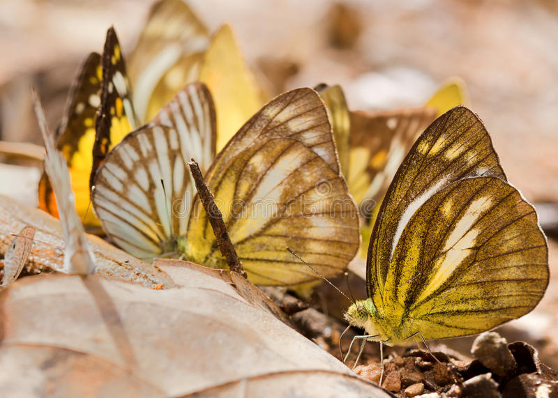 The Group Of Yellow Butterfly Royalty Free Stock Photo