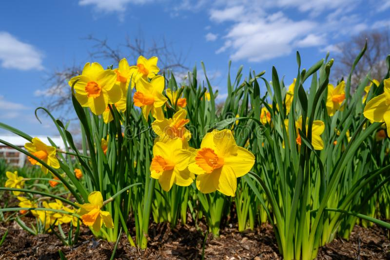 A group of yellow daffodils gather together for a day in the sun royalty free stock photography