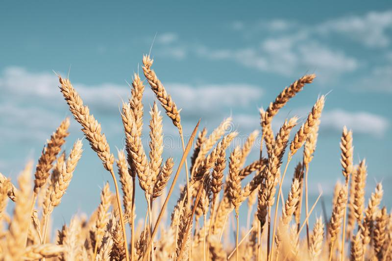 Group of yellow ears of wheat against a cloudy sky royalty free stock photography