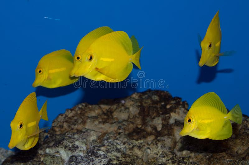 Group of Yellow Tang fish. The Yellow Hawaiian Tang is for many aquarists, the definitive fish of home saltwater aquariums. With its oval-shaped, vibrant yellow stock image