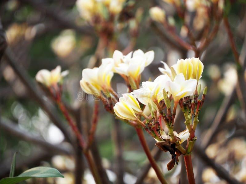 Group of yellow white flowers Frangipani, Plumeria. With natural background stock photo