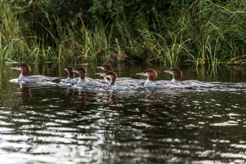 A group of young Common Loon chicks swimming on the lake of two rivers in algonquin national park Ontario, Canada. A group of young Common Loon chicks -Gavia royalty free stock images