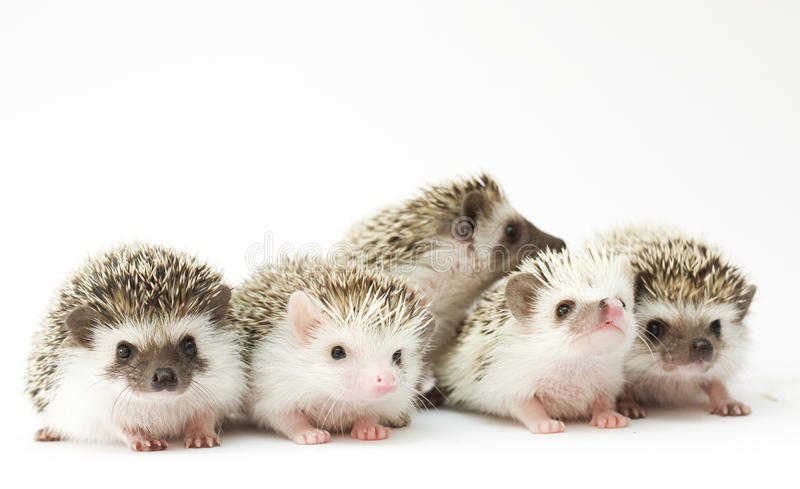 Group of young hedgehog baby royalty free stock photos