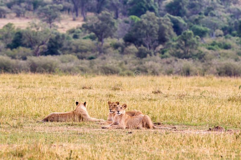 Group of young lions on the grass in Masai Mara. Kenya, Africa royalty free stock image