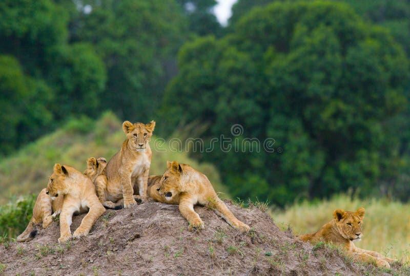 Group of young lions on the hill. National Park. Kenya. Tanzania. Masai Mara. Serengeti. stock image