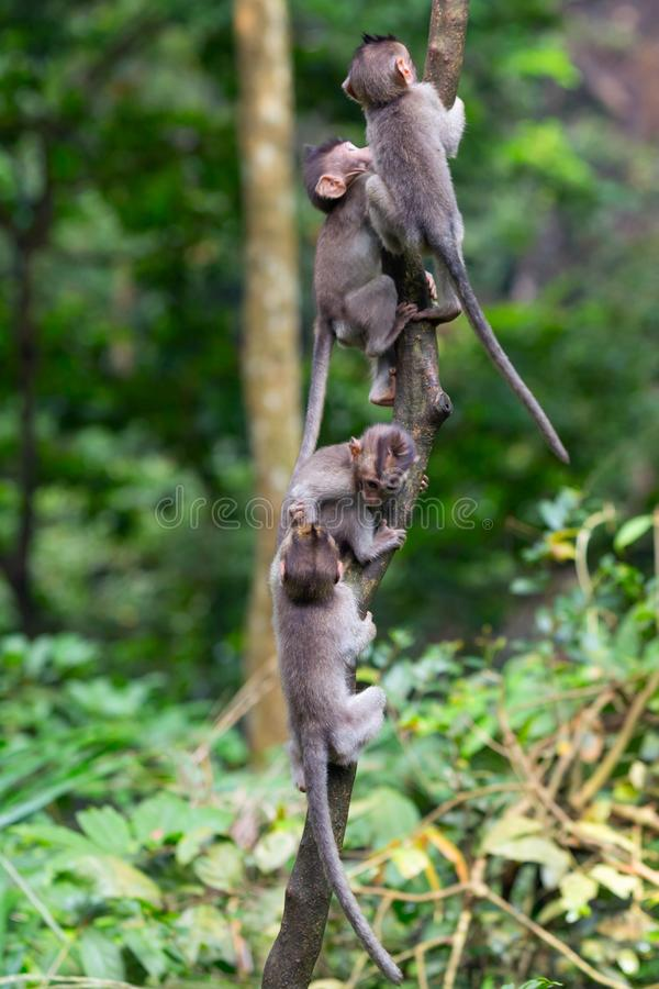 Group of young monkeys climb up a thin tree in the Ubud jungle. Monkeys overcomes difficulties. royalty free stock image
