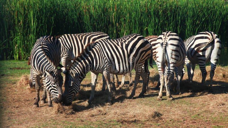 Group Zebra eatting grass near river royalty free stock photos