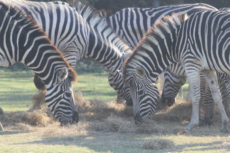 Group zebra eatting grass in safari royalty free stock image