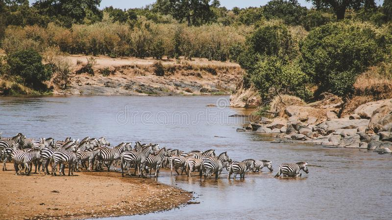 Migrating zebra royalty free stock photo