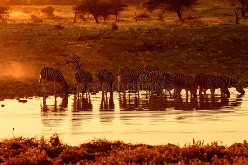 Group of Zebra at a waterhole at dusk royalty free stock image