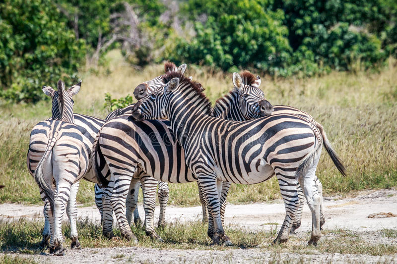 Group of Zebras bonding in Chobe. stock photos